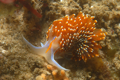 © Joseph Dougherty. All rights reserved.     Hermissenda crassicornis  Eschscholtz, 1831 Opalescent sea slug  Opalescent sea slug in Monterey Bay.  Hermissenda crassicornis  Eschscholtz, 1831 Family: Glaucidae Range:  This nudibranch lives from Kodiak Island, Alaska, to Punta Eugenia, Mexico. It has also been observed in Bahia de los Angeles in the Gulf of California, as well as in Japan.  This species grows to be about 50 mm, or about 2 inches. The color of this nudibranch varies from one locality to another, but it is always easily recognizable by the orange stripe along its back. It can be found in various habitats, including the intertidal zone of rocky shores, but also in bays and estuaries.   This nudibranch feeds on hydroids and other marine organisms such as ascidians and sea anemones. It sometimes attacks other nudibranchs, and will even eat smaller specimens of its own species. Because of its abundance and availability this species is used in behavioral and neurological laboratory studies. Hermissenda is a good example of a nudibranch species displaying aposematic or warning coloration. Several authors have reported field and laboratory observations of fish species avoiding this brightly colored animal.  Monterey Bay, CA.