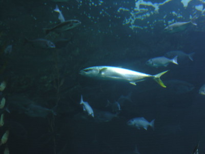 © Joseph W. Dougherty. All rights reserved.   LOW RESOLUTION SAMPLE  Amberjack.    [image depicts captive specimen]