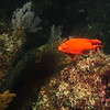 © Joseph Dougherty. All rights reserved.<br /> <br /> Diving in the kelp forests of the Channel Islands in Southern California.