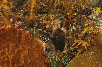 © Joseph Dougherty. All rights reserved.    Scorpaena guttata  Girard, 1854 California Scorpionfish aka Spotted Scorpionfish  Can you see him?  Hiding very effectively. I only stumbled across him by accident while trying to take the photo of a different fish... the young kelp bass seen above.