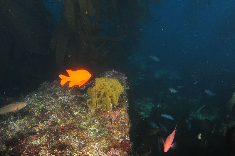 © Joseph Dougherty. All rights reserved.  Diving in the kelp forests of the Channel Islands in Southern California.
