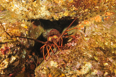 © Joseph Dougherty. All rights reserved.    Panulirus interruptus  (J. W. Randall, 1840) California Spiny Lobster