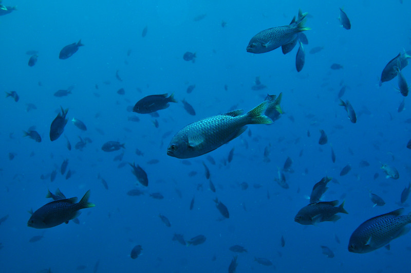 © Joseph Dougherty. All rights reserved.   <font size=5><i> Chromis punctipinnis </i></font> (Cooper, 1863) <font size=5>Blacksmith</font>  Channel Islands, CA.