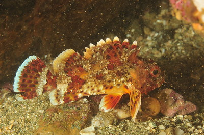 © Joseph Dougherty. All rights reserved.    Scorpaena guttata  Girard, 1854 California Scorpionfish aka Spotted Scorpionfish  This is a juvenile, less than 4 inches in length.   Channel Islands, CA.