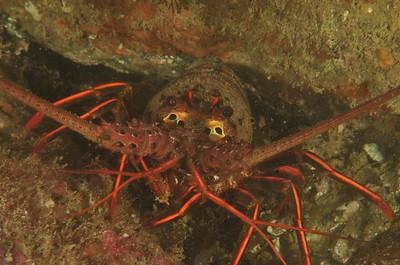 © Joseph Dougherty. All rights reserved.    Panulirus interruptus  (J. W. Randall, 1840) California Spiny Lobster  Catalina Island, CA.