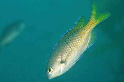 © Joseph Dougherty. All rights reserved.    Chromis punctipinnis  (Cooper, 1863) Blacksmith  Channel Islands, CA.