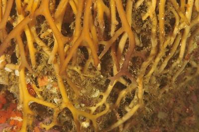 Giant kelp holdfast.