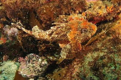 © Joseph Dougherty. All rights reserved.    Scorpaena guttata  Girard, 1854 California Scorpionfish aka Spotted Scorpionfish  Channel Islands, CA.