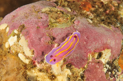 © Joseph Dougherty. All rights reserved.   Chromodoris macfarlandi    MacFarland's Chromodorid