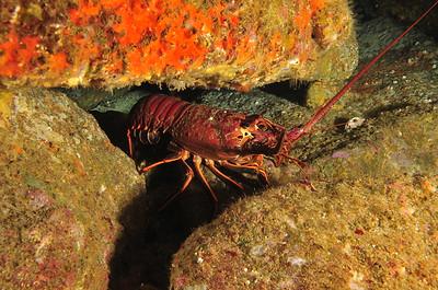 © Joseph Dougherty. All rights reserved.    Panulirus interruptus  (J. W. Randall, 1840) California Spiny Lobster  California kelp forest rocky reefs, abundant in fish and invertebrate life.