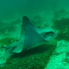 © Joseph Dougherty. All rights reserved.   <font size=5><i> Myliobatis californica </i></font> (T. N. Gill, 1865) <font size=5>Bat Ray</font>  While the bat ray, like other stingrays, has a venomous spine in its tail (near the base), it is not considered dangerous and uses the spine only when attacked or frightened.  Currently, the bat ray is fished commercially in Mexico but not the United States. However, it is sometimes fished for sport for its fighting characteristics. Prehistorically, native tribes on the California coast (probably Ohlone), especially in the San Francisco Bay area, fished bat rays in large numbers, presumably for food.  Commercial growers have long believed bat rays (which inhabit the same estuarine areas favored for the industry) prey on oysters, and trapped them in large numbers. In fact, crabs (which are prey of bat rays) are principally responsible for oyster loss. Bat rays are not considered endangered or threatened.  Bat Rays are popular in marine parks, and visitors are often allowed to touch or stroke the ray, usually on the wing.