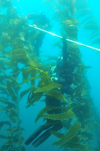 © Joseph Dougherty. All rights reserved.  Divers at safety stop on the anchor line in the kelp.