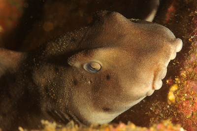 © Joseph Dougherty. All rights reserved.   Heterodontus francisci  (Girard, 1855) Horn Shark  A species of bullhead shark, family Heterodontidae. It is endemic to the coastal waters off the western coast of North America, from California to the Gulf of California. Young sharks are segregated spatially from the adults, with the former preferring deeper sandy flats and the latter preferring shallower rocky reefs or algal beds. A small species typically measuring 1 m (3.3 ft) in length, the horn shark can be recognized by a short, blunt head with ridges over its eyes, two high dorsal fins with large spines, and a brown or gray coloration with many small dark spots.  Slow-moving, generally solitary predators, horn sharks hunt at night inside small home ranges and retreat to a favored shelter during the day. Their daily activity cycles are controlled by environmental light levels. Adult sharks prey mainly on hard-shelled molluscs, echinoderms, and crustaceans, which they crush between powerful jaws and molar-like teeth, while also feeding opportunistically on a wide variety of other invertebrates and small bony fishes. Juveniles prefer softer-bodied prey such as polychaete worms and sea anemones. The shark extracts its prey from the substrate using suction and, if necessary, levering motions with its body. Reproduction is oviparous, with females laying up to 24 eggs from February to April. After laying, the female picks up the auger-shaped egg cases and wedges them into crevices to protect them from predators.