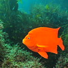 © Joseph Dougherty. All rights reserved.    Hypsypops rubicundus   (Girard, 1854) Garibaldi  Channel Islands, CA.