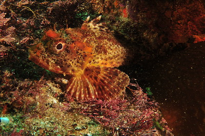 © Joseph Dougherty. All rights reserved.    Scorpaena guttata  Girard, 1854 California Scorpionfish aka Spotted Scorpionfish  Channel Islands, CA.  It is native to the eastern Pacific Ocean, where it can be found along the coast of California and Baja California. Its distribution extends from around Santa Cruz, California, to Punta Abreojos in Baja California Sur, and out to Guadalupe Island. It is also found in the Gulf of California.
