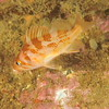 © Joseph Dougherty. All rights reserved.   <font size=5><i> Sebastes caurinus </i></font>  J. Richardson, 1844 juvenile <font size=5>Copper Rockfish</font>  It is a relatively common rockfish of the Pacific coast. It is very widespread in its distribution, known from the very northern reaches of the Gulf of Alaska, to the Pacific side of the Baja California peninsula, north of Guerrero Negro. The copper rockfish is also very widely distributed in depth, from the subtidal shallows of about 10 to 183 metres (33 to 600 ft).  Copper rockfish are known to be highly variable in coloration, ranging from a dark reddish brown, with pale copper blotching along the sides, to a lighter pinkish brown with a yellowish white mottling on the flanks. At one time it was thought that these variations were two different fish: Sebastes caurinus and Sebastes vexillaris. It is now known however that it is simply one species. Males are known to mature between three and seven years, while females mature between four and eight years. Generally the larger a female is, the more young she will bear. Copper Rockfish are a viviparous fish giving birth to live young after a gestation period of around 10 months. They are a long lived fish reaching ages of over forty years old with the oldest known individual being 55 years old. Copper Rockfish are a modest fish reaching a maximum size of 58 centimeters (23 in) TL and a weight of 2,740 grams (6.0 lb)