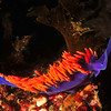 © Joseph Dougherty. All rights reserved.  <font size=5><i> Flabellina iodinea  </i></font>   <font size=5>Spanish Shawl </font>  Catalina Island, Channel Islands, CA.