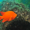© Joseph Dougherty. All rights reserved.    Hypsypops rubicundus   (Girard, 1854) Garibaldi  Garibaldi male tending his algae garden, looking for potential females to come lay eggs in his territory. Channel Islands, CA.