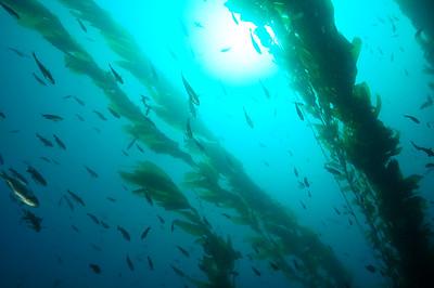 © Joseph Dougherty. All rights reserved.    Macrocystis pyrifera  (L.) C.Ag. Giant Kelp