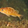 © Joseph Dougherty. All rights reserved.   <font size=5><i> Sebastes caurinus </i></font>  J. Richardson, 1844 juvenile <font size=5>Copper Rockfish</font>  Juveniles are almost exclusively found in kelp beds and shallow rocky areas. They begin life feeding primarily on planktonic crustaceans. As they grow they continue to feed on increasingly larger crustaceans such as shrimp and crabs as well as squid and octopus. Smaller fish also make up a large part of their diet. In turn copper rockfish are preyed on by lingcod and cabezone and even salmon. Sea birds and sea mammals also take their toll, and also man. Copper Rockfish are known for the table quality of their flesh and their willingness as a sportfish. The adult copper rockfish is found very close to the bottom often touching. They are almost always associated in and around rocks, and almost never on sand. This rockfish is known to be very faithful to its chosen home and numerous tagging studies have shown that these rockfish travel no more than a mile from their chosen location.
