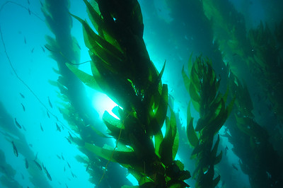 © Joseph Dougherty. All rights reserved.    Macrocystis pyrifera  (L.) C.Ag. Giant Kelp