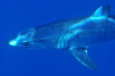 Isurus oxyrinchus   Rafinesque, 1810 Shortfin Mako Shark  Open ocean, west of Santa Barbara Island, CA.  © Joseph Dougherty. All rights reserved.