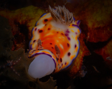 "Collingwood's Chromodoris, ""Chromodoris collingwoodi""."