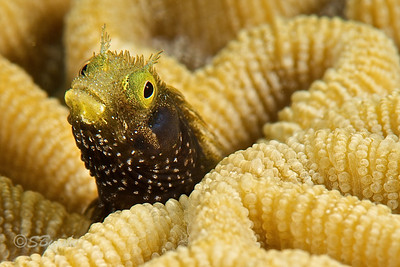 Spinyhead Blenny [Acanthemblemaria spinosa]