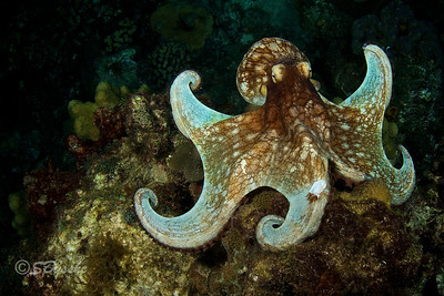 Common Octopus [Octopus vulgaris]