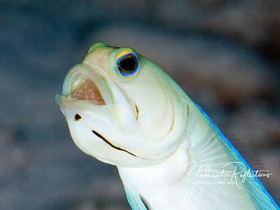 A male yellow-headed jawfish (Cayman Islands) holds eggs in his mouth to protect them until they hatch.