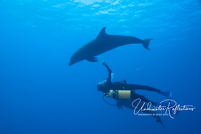 Diver interacts with Bottlenose dolphins (Rangiroa, Fr. Polynesia)