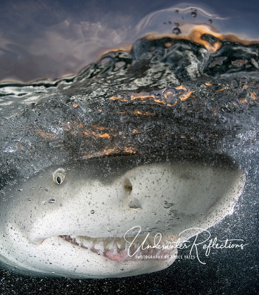 "Award-winning ""Cheshire Cat Grin"" - A 7-foot lemon shark on the surface at sunset (you can see the orange sunset through the water). This photo - winner of the Oceans division of Nature's Best Photography's 2008 Windland Smith Rice Awards - was on display in the Smithsonian Museum of Natural History last year.   Of all the photos I've ever taken, I think this one has evoked the most comments and interest...probably because of the shark's apparent ""expression,"" which can best be described by reference to the cat in Alice's Wonderland.<br><br>  See last page of the ""Underwater Highlights"" gallery for a few photos from the Smithsonian exhibit!<br><br>"