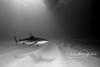 Shadows and Light - Caribbean reef shark (Bahamas)