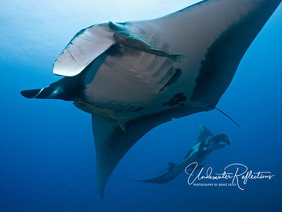 Giant mantas flying in formation (Socorro, Mexico)