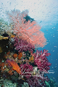 Reef scene with coral trout (lower left) and glass fish (above left)  (Raja Ampat, Indonesia)
