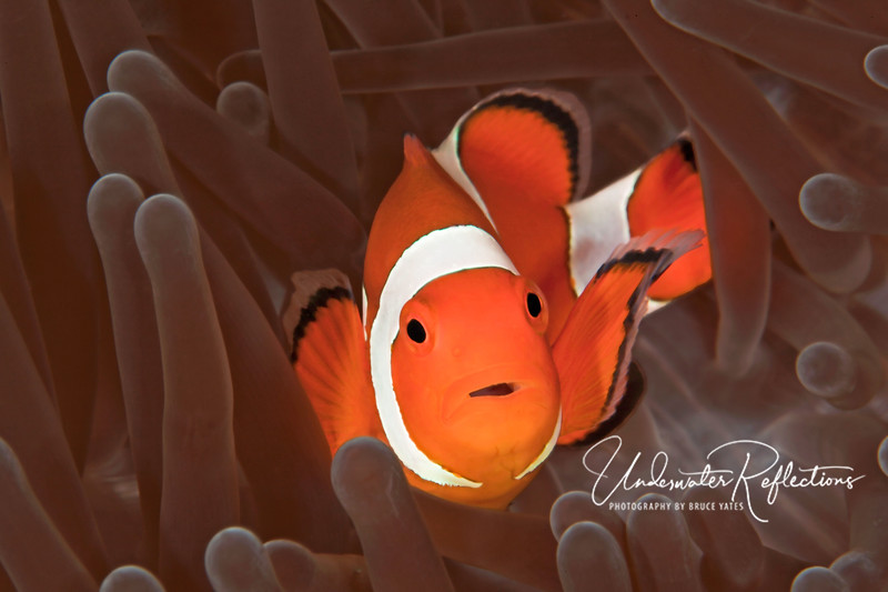 Nemo in brown velvet (Indonesia). This is a False Clown Anemonefish, but to most people it is Nemo, the movie star. Living in a brown anemone, he is protected from predators because the anemone stings them, whereas he is immune to its sting. In return, he brings the anemone food. It is a truly symbiotic relationship.