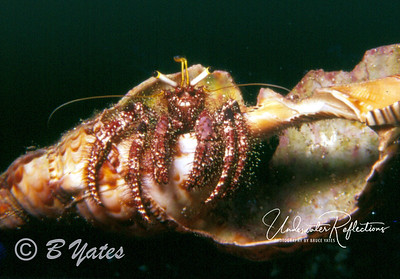 Hermit Crab (Papua New Guinea)