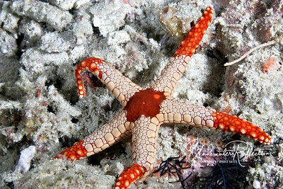 Sea star (Komodo, Indonesia)
