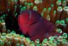 "Spine-cheeked (also known as ""maroon"") anemonefish (Indonesia).  Not as recognizable as ""Nemo"" but my favorite type of anemonefish."