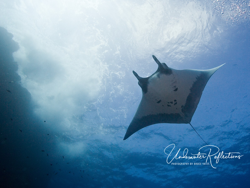 Giant manta swims along surface next to wall (Socorro, Mexico)