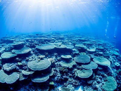 Hard Coral landscape (Apo Island, Philippines)