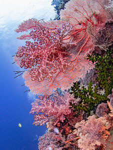 Hard and Soft Coral Wall (Philippines)