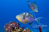 Queen Triggerfish (Bahamas)