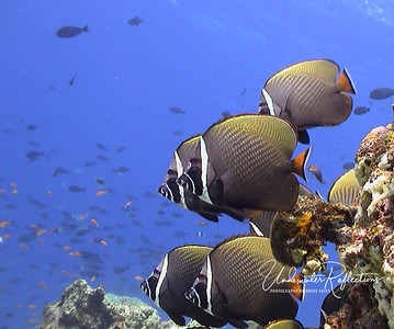 "Pakistani (aka ""banded"") butterflyfish (Maldives, Indian Ocean)"