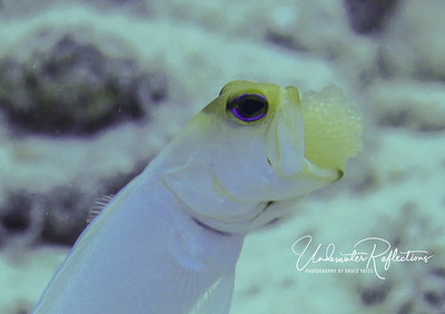 Yellow-headed jawfish with eggs
