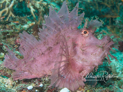 "Pretty in Pink!  Rhinopias (aka 'leafy"" or ""lacy"") Scorpionfish (8 inches long). The name scorpionfish derives from the fact that all of his fins are venomous.  Look but don't touch!"