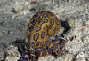 Blue-ringed Octopus - plum-sized, but with deadly venom, so don't touch! (Indonesia)