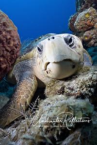 Loggerhead turtle (Bahamas)