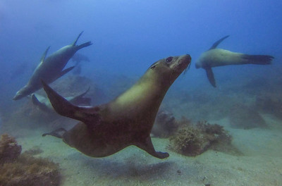 Sea lions truly seem to love swooping and zooming around! (Sea of Cortez)