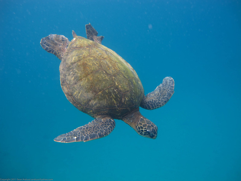 Sea Turtle at Honoloa Bay